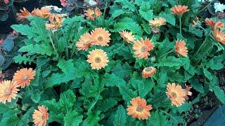 IKKARA PLANT NURSERY 💐🌹🏵🌺🌲🌱🌷🌻🌼🌴🌿 - The Most Popular High