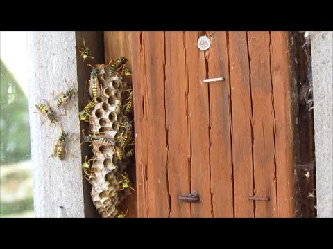 How to Destroy a Wasp Nest Naturally using Soap and Water