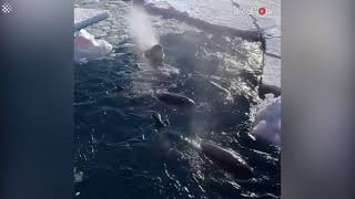 Pod of Orcas on the lookout for seals in Antarctica