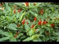How to grow Chilli Peppers video with Thompson & Morgan