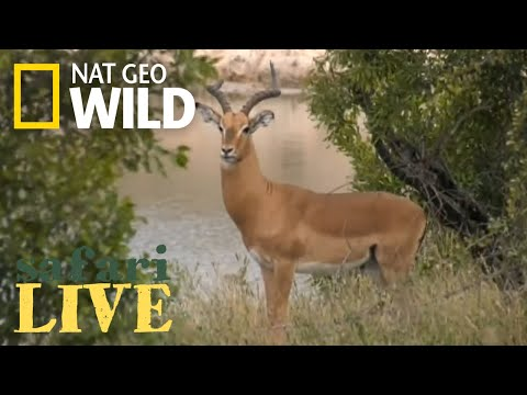 Safari Live - Day 147 | Nat Geo Wild