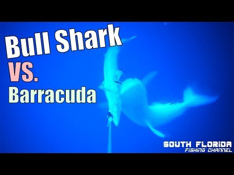 Bull Shark Attack | Barracuda Attacked by Shark