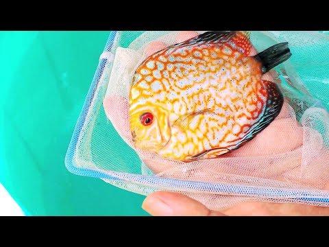 I got a Grand Champion Discus Fish ?