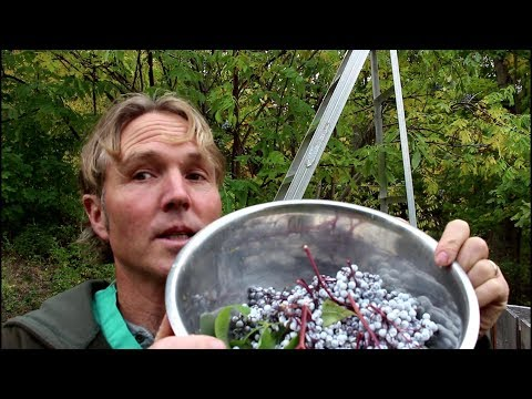 Amazing Health Benefits of Elderberry: How To Make Syrup