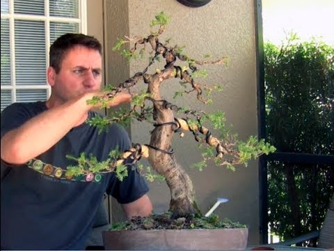 How To Bonsai - Bending large branches with Raffia