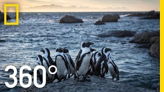 Endangered Penguins of South Africa - 360 | National Geographic
