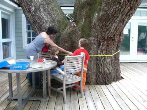 Measuring oak tree