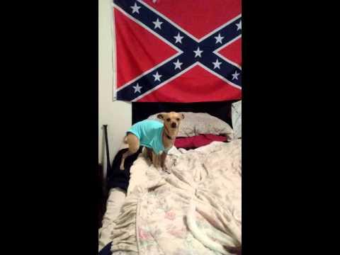 Chihuahua in a onesie