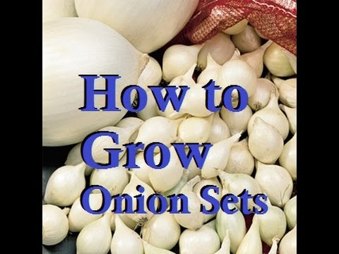 How to Easily Grow Your Own Onion Sets at Home