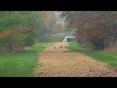 Wild turkeys!!!