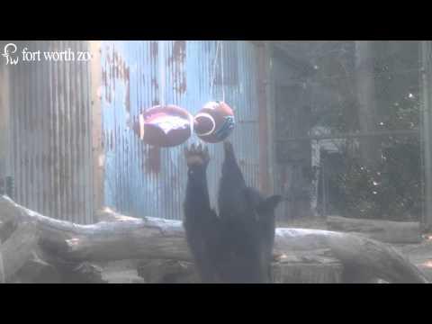 Fort Worth Zoo Black Bears Predict Super Bowl 50 Winner