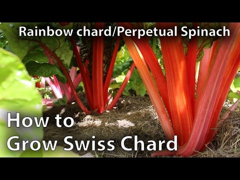 How to Grow Swiss Chard in Abundance