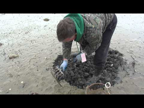Duxbury Quahog Digging