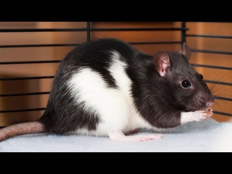 How to Pick a Pet Rat | Pet Rats