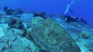 Biggest Sea Turtle in the Caribbean