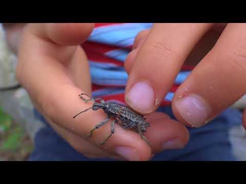 AwA Leptopius Weevil