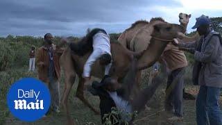 Angry camel bucks Kenyan journalist to the ground