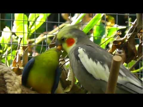 Cockatiel feeding Turquoisine Grass Parrot @ Pheasantasiam (Large Aviary)
