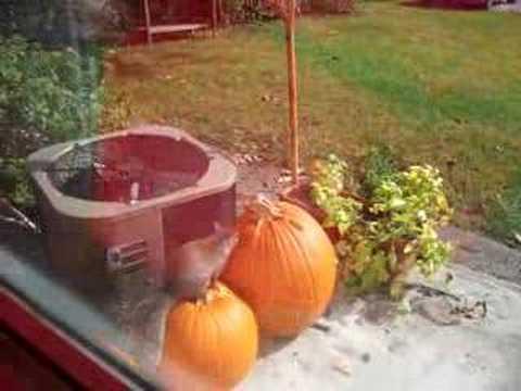 Squirrels Eating Pumpkin Part 2