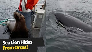 Desperate sea lion hides from orcas on the hunt!