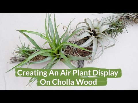 Creating An Air Plant Display On Cholla Wood / Joy Us Garden