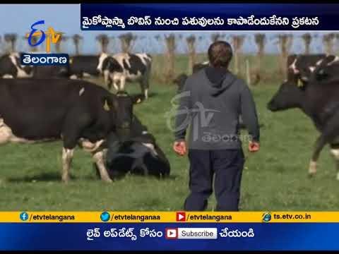New Zealand to Cull | 1, 50,000 Cows to Eradicate | Mycoplasma Disease