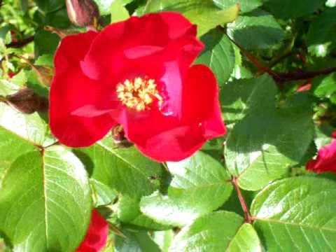 Rose Wind