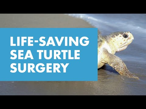 Rescued Sea Turtle Receives Surgery for Ingested Plastic   SeaWorld Orlando