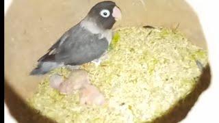 Birds Breeding Tips Videos - PakVim net HD Vdieos Portal
