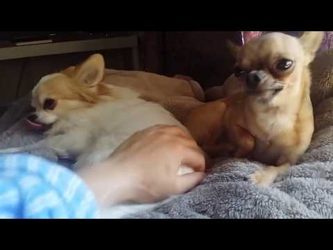 Extremely jealous chihuahua wants all the attention