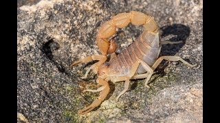 Download Free Handling a DEADLY Scorpion! Video