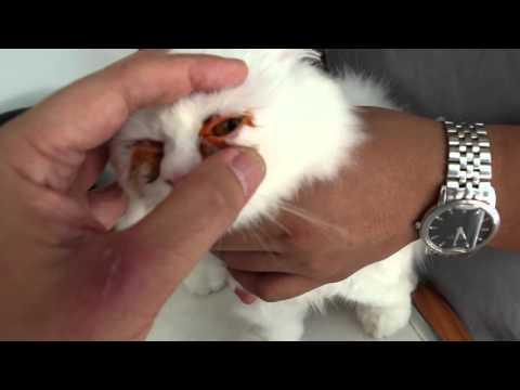 Causes of eye tearing in this Persian cat Pt 2