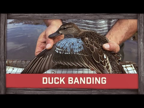 Duck Banding, My New Book & Winner!