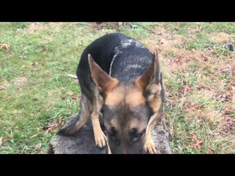 6-Month Old German Shepherd, Scout!  German Shepherd Dog Training | Off Leash K9 Training