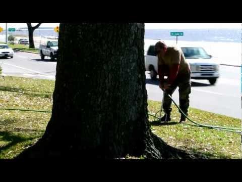 Live Oak Tree Fertilization Services, Biloxi Mississippi