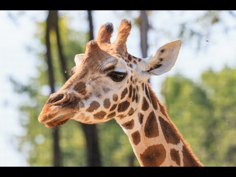 Blackpool Zoo Giraffes