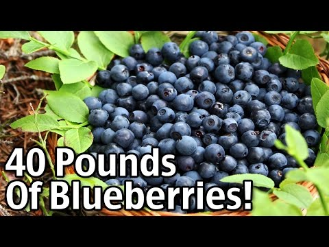 My 40 Pounds Of Blueberries!