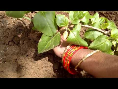 How to make your plant's TRUNK thick easily and repot BOUGAINVILLEA in BONASAI POT (Hindi and Urdu)