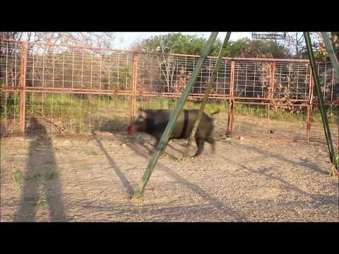 30' Hog Trap by Goin Fencing Big Boy 2012