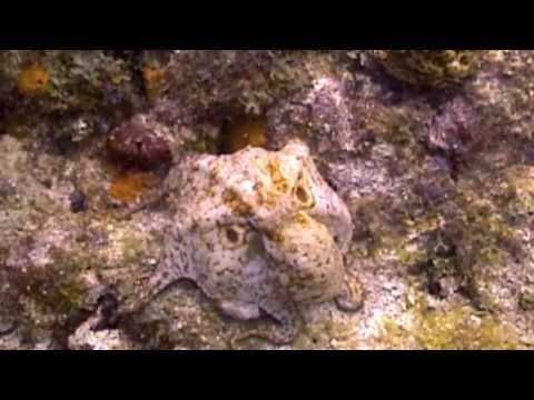 Octopus Threat Display - Key Largo, Fl.
