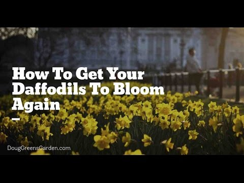 Get Your Daffodils To Bloom Again