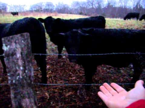 Backyard cows