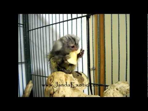 Marmoset Baby eating, My pet monkey, marmosets as pets