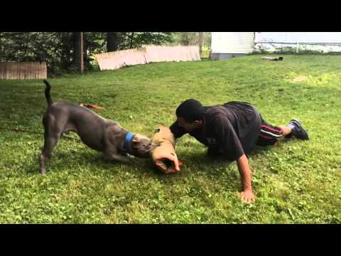 Training 5 month old pup (fight development)