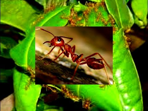 Ant House With Leafs/ Beautiful House/ Nest making by Ants / Wild Life Art creation by Ants