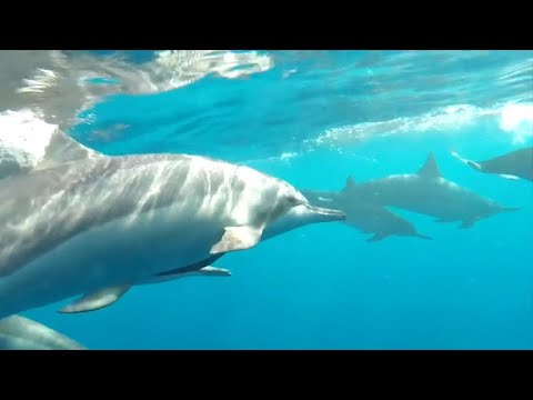 Are Hawaii tourists getting too close to dolphins?