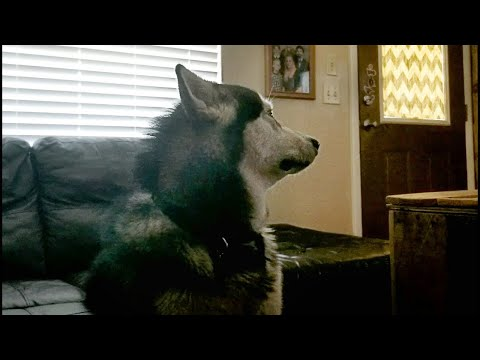 Mad Malamute After Bath Won't Look At Me!
