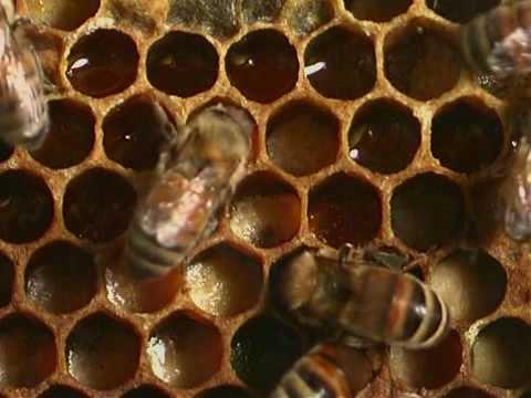 Honey bees - Natural History 1