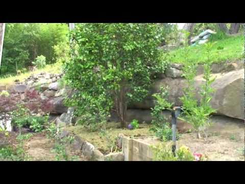 How to renovate a Camellia