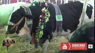 Dadi House 2017 Qurbani Animals || Karachi Cow Mandi Latest  || Eid Qurban